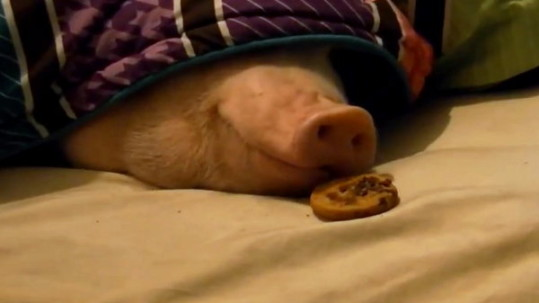 Heehee-Sneaking-a-Cookie-under-Sleeping-Pigs-Nose
