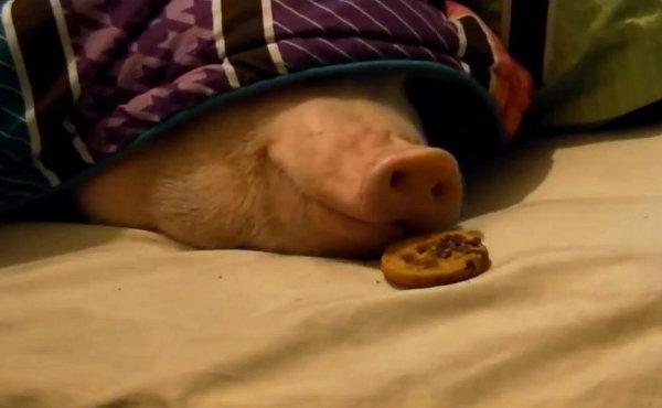Heehee-Sneaking-a-Cookie-under-Sleeping-Pigs-Nose