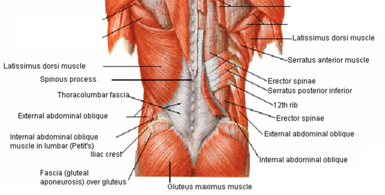 Pictures Of Torn Muscles Of The Human Back 62