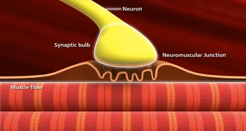 nmj synapse