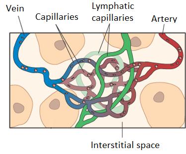 lymph-blood-network